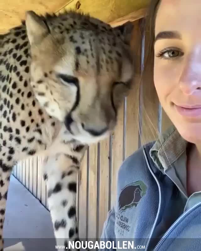 Watch and share Cheetah GIFs by TMS on Gfycat