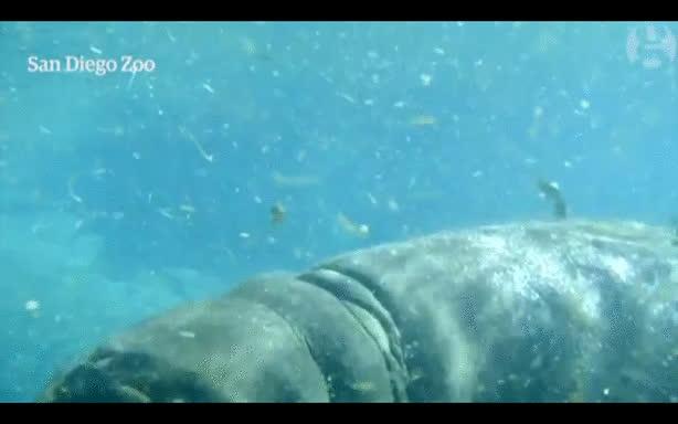 animal, animals, hippo, hippopotamus, hippo GIFs