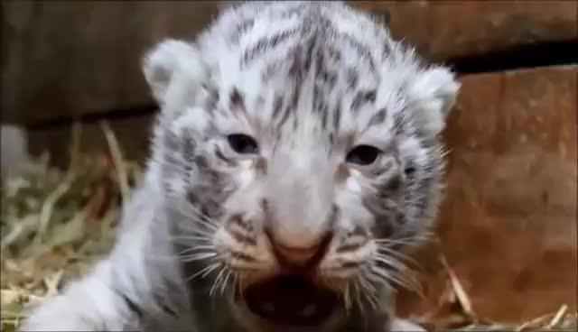 angry, animal, animals, cat, tiger, tigers, tigress, angry tiger GIFs