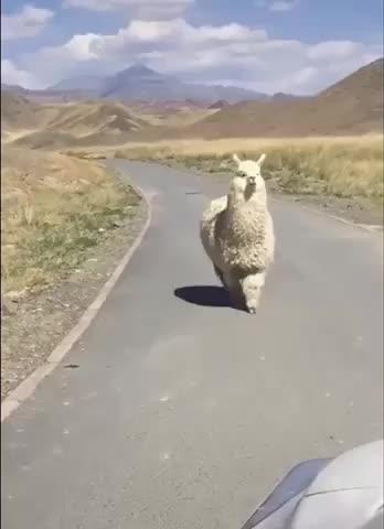 Watch and share Llama GIFs by Taykaybo on Gfycat