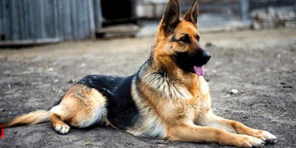 West German Shepherd Puppies For Sale In North Carolina