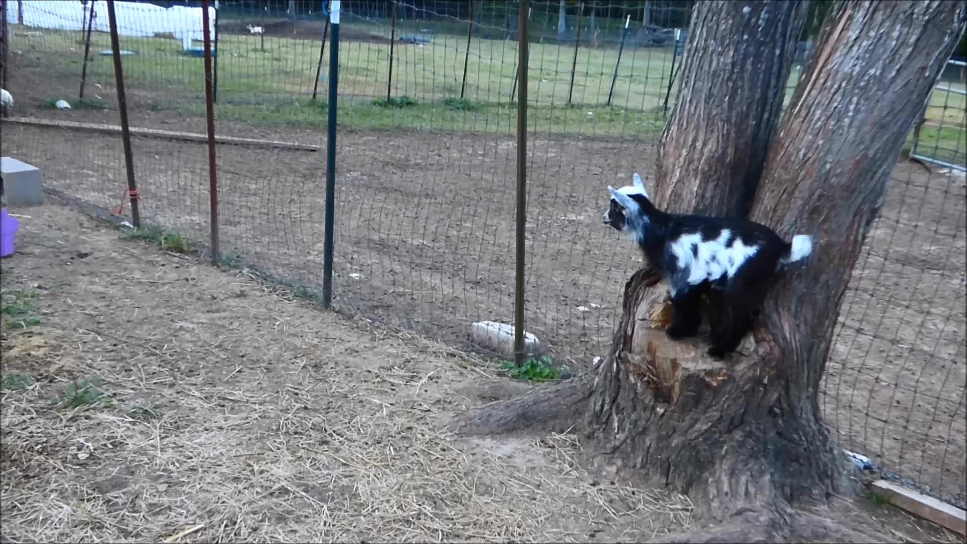 Goatparkour, goat, knsfarm, popular, HOP HOP HOP GIFs