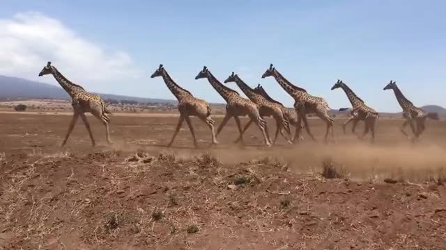 Watch Herd of giraffes running in Tanzania, Africa GIF on Gfycat. Discover more africa, animals, giraffe, nature, tanzania, travel, wildlife GIFs on Gfycat