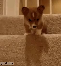 Watch and share Corgi GIFs by teddyk on Gfycat