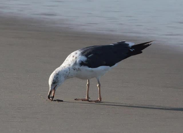 Watch and share Gull Feeding GIFs on Gfycat
