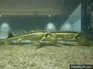 Watch Atlantic sturgeon GIF on Gfycat. Discover more related GIFs on Gfycat