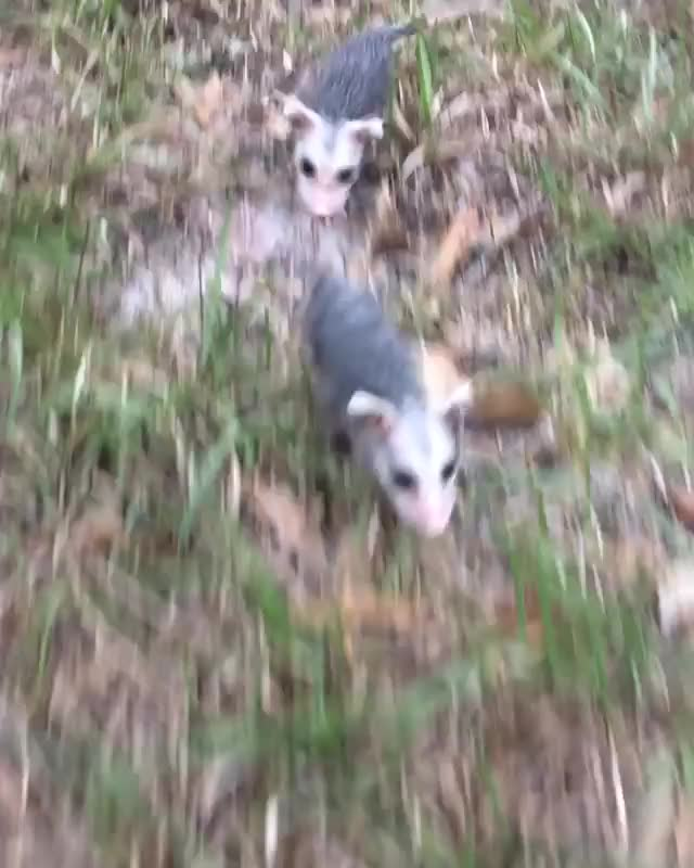 Watch and share Opossum GIFs and Cute GIFs by cakejerry on Gfycat