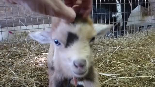 Watch Baby Goat Loves Head Scratches GIF by KNS Farm (@knsfarm) on Gfycat. Discover more aww, baby goat, cute, eyebleach, goat, kid, knsfarm GIFs on Gfycat