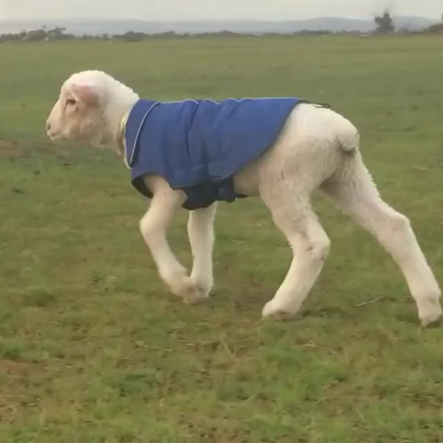 Watch and share The Sheep Were Intrigued By Milo The Lamb In His Little Jacket ❤️😛 #snapchat Shannenhussein To See What He Got Up To Today 😉🐑🐪🐏🐏🐏🐏🐏 GIFs by life.of.shannen on Gfycat