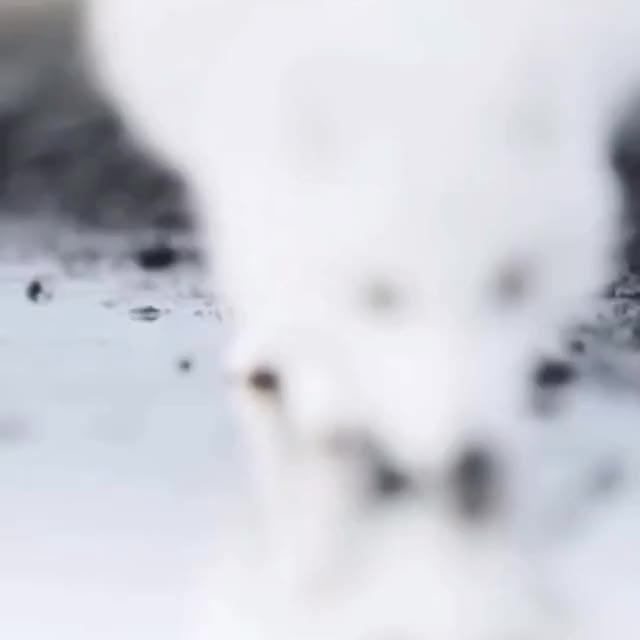 Watch and share Arctic Fox GIFs by powerlunatic on Gfycat