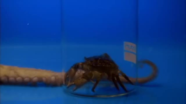 Watch Octopus Opens Jar: Promo | CBC GIF on Gfycat. Discover more Aliens of the Sea, CBC, Science & Technology, The Nature of Things, octupus GIFs on Gfycat