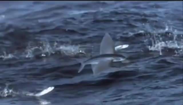 Watch Life - Flying Fish Fly | Fish GIF on Gfycat. Discover more related GIFs on Gfycat