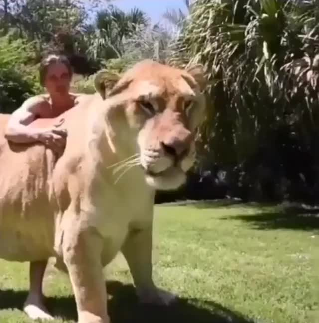 Watch and share Lion GIFs by Hamad on Gfycat
