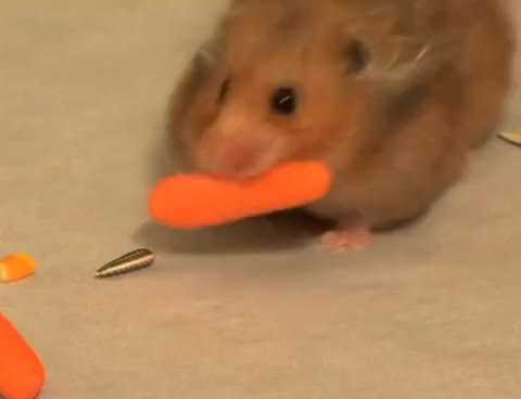 Watch Hamster GIF on Gfycat. Discover more Hamster GIFs on Gfycat