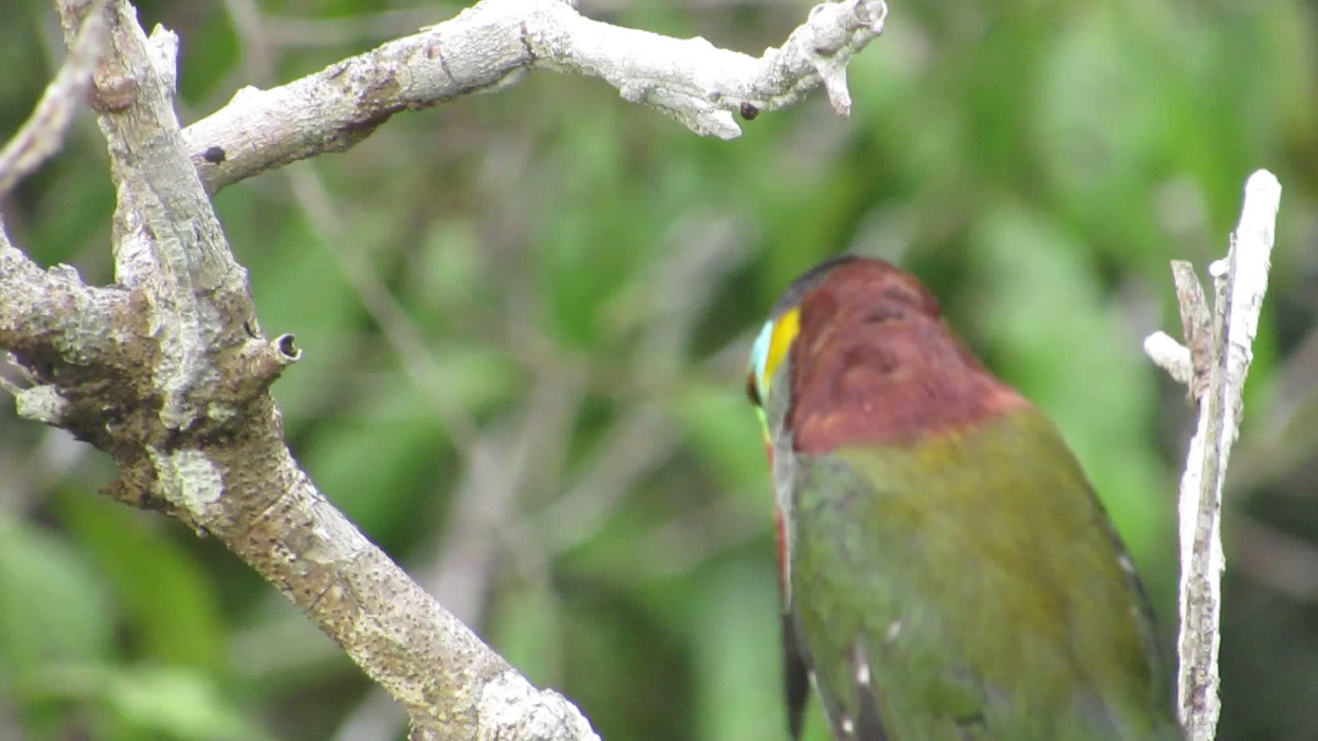 Guianan Toucanet (Selenidera piperivora) araçari-negro GIFs