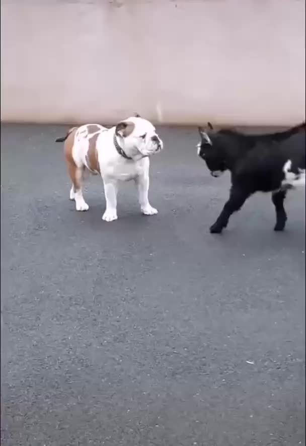 Watch and share Goat GIFs and Dog GIFs by vosszaa on Gfycat