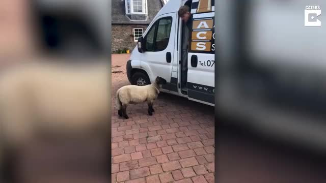 Watch Workman Gets Chased Down By Sheep GIF on Gfycat. Discover more Down, Fluffy, Lamb, Scottish, Viral, animal, catersnewsagency, caterstv, chase, chasing, clips, farm, headbut, hide, hiding, run, runs, van, vehicle, workman GIFs on Gfycat