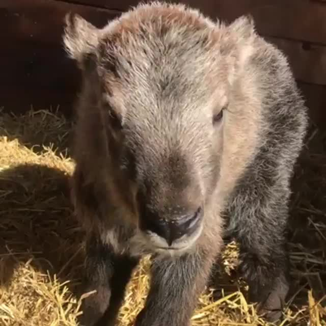 Watch and share A Newborn Gnu Goat GIFs by tothetenthpower on Gfycat