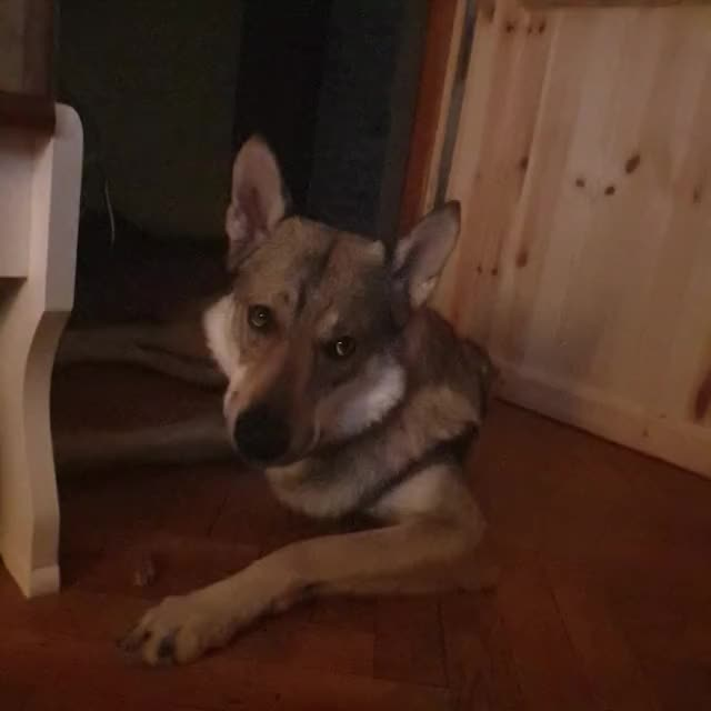Watch and share Wolfdoggo GIFs and Wolfsog GIFs by Pranko The Wolfdog  on Gfycat