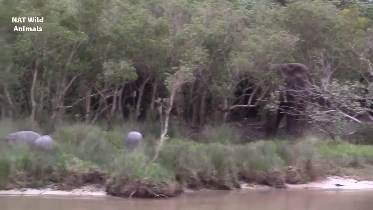 Baby Hippo, Elephant, Harrison, Hippo, Hippo calf, Hippo vs Elephant, Pets & Animals, Run away! GIFs