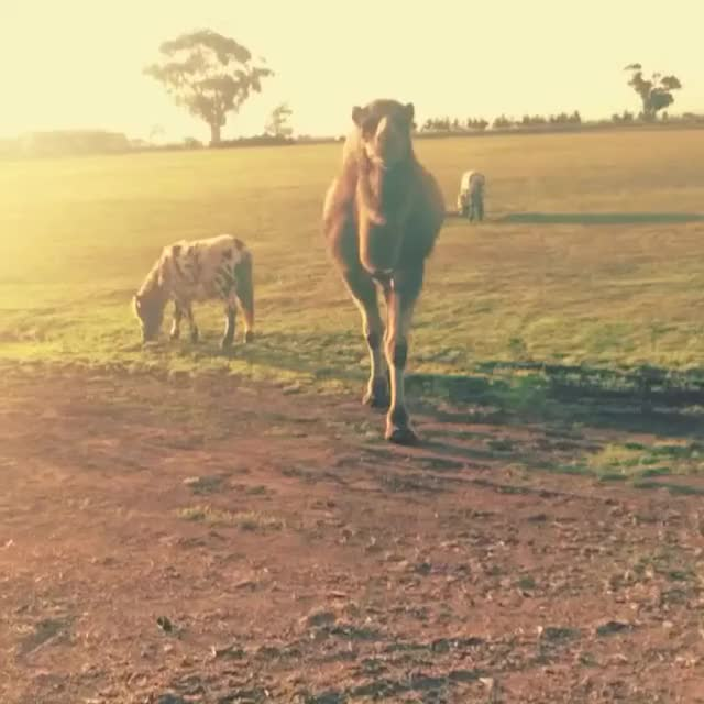 Watch and share Camel GIFs by life.of.shannen on Gfycat