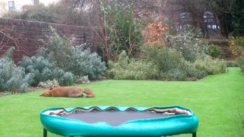 fox, Fox zoomies GIFs