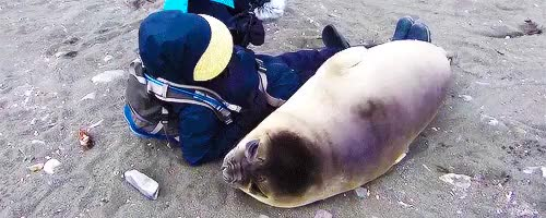 Watch and share Adorable Animals GIFs and Elephant Seal GIFs on Gfycat