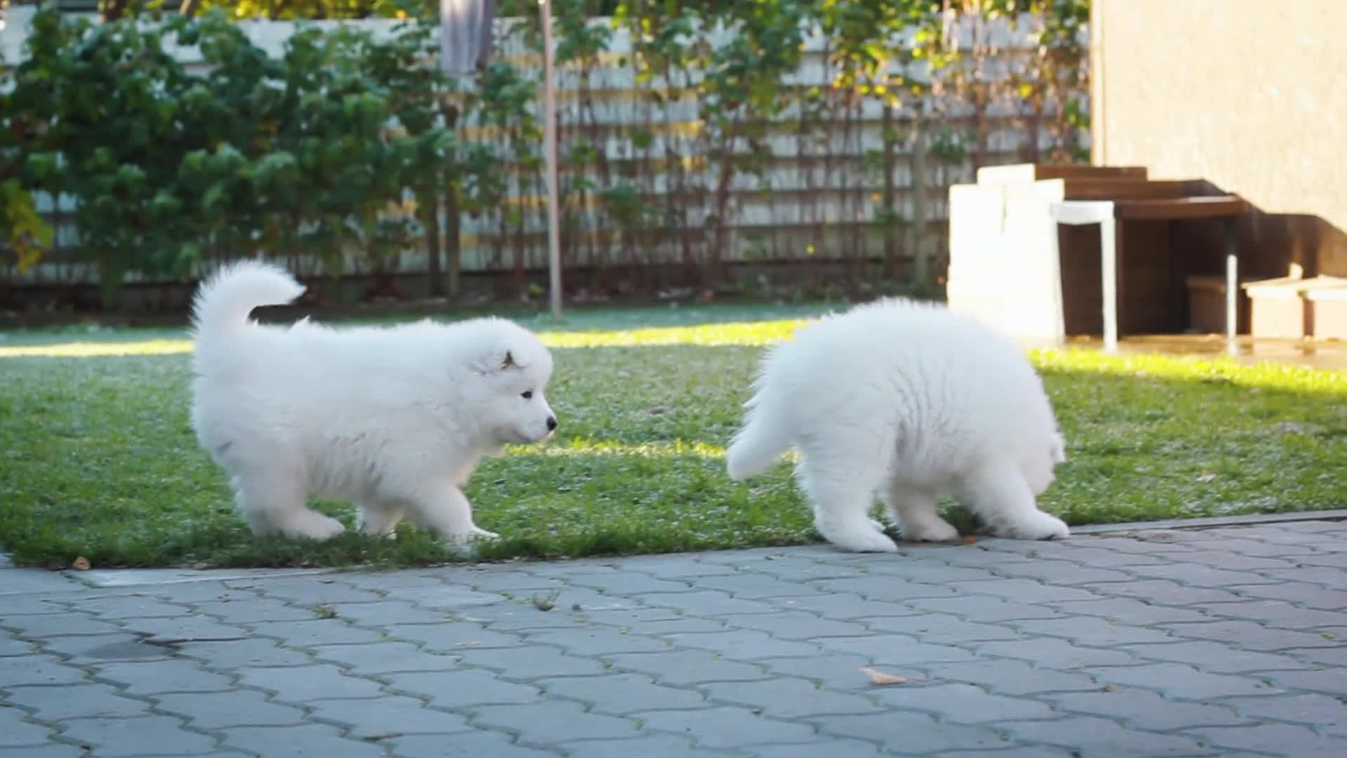 cute, dogs, fluffy, puppies, puppy, samoyed, samoyed puppies, Samoyed puppies GIFs