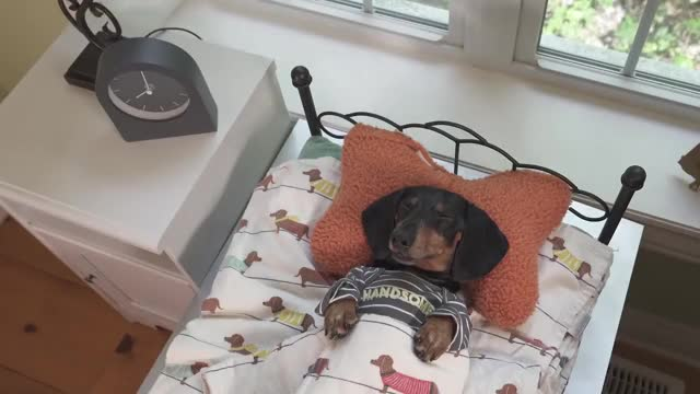 Watch and share Adorable Dachshund GIFs and Crusoe Wiener Dog GIFs by sachin923 on Gfycat