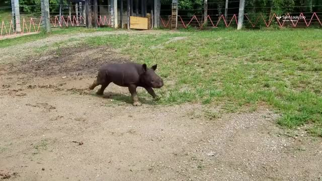 Watch and share Black Rhinoceros GIFs and Saint Louis Zoo GIFs by PM_ME_STEAM_K3YS on Gfycat