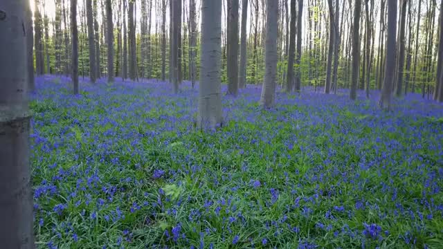 Watch Hallerbos 2017 fly in Blue Forest GIF on Gfycat. Discover more bluebells, halle, hallerbos, hyacinten GIFs on Gfycat