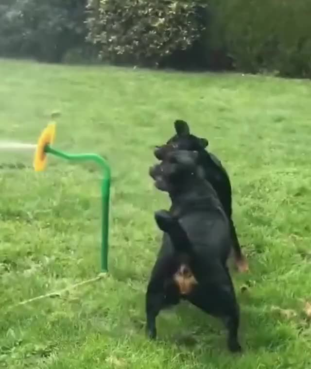 Watch and share Rottie GIFs and Dogs GIFs by jakunai on Gfycat