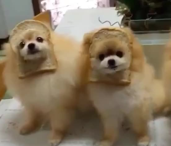Watch this awww GIF by GIF Queen (@ioanna) on Gfycat. Discover more aw, awkward, aww, awww, cute, dog, dogs, hungry, lick, pomeranian, puppies, puppy, toast GIFs on Gfycat