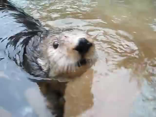 Watch and share Talking Otter GIFs and Cute Otter GIFs on Gfycat