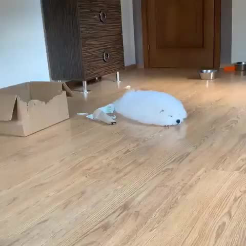 Watch and share Source:  Alekko.samoyed On Instagram GIFs by Nomorefoxgiven on Gfycat
