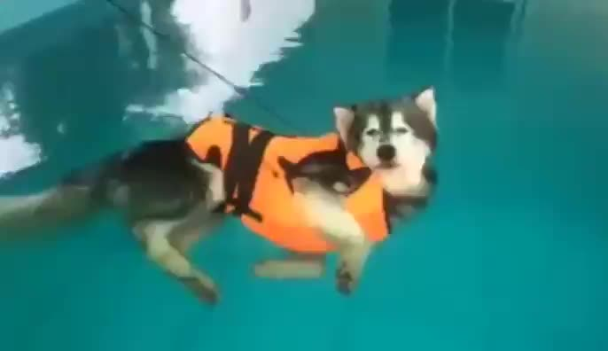 Pupper realizes they can just float with their life jacket GIFs