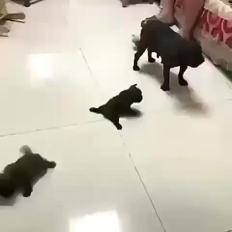 Baby pugs still getting the hang of moving around on a tile floor GIFs