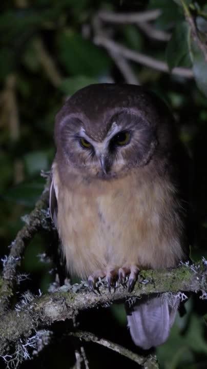 Fernando Burgalin Sequeira, aegolius, aegoliusridgwayi, avesdecostarica, burgalin, fernaabs, lechucitaparda, strigiformes, unspottedsawwhetowl, Unspotted Saw-whet Owl GIFs