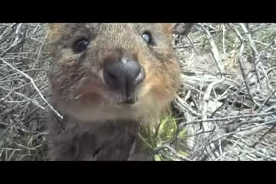 Watch and share Rottnest GIFs and Attack GIFs by likkaon on Gfycat