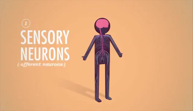 Watch and share The Nervous System, Part 1: Crash Course A&P #8 GIFs on Gfycat