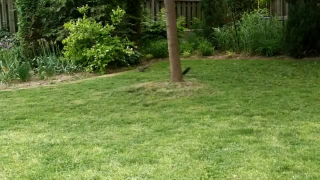 Watch The gray squirrel is an intruder! [OC] (reddit) GIF on Gfycat. Discover more AnimalGIFs, perfectloops, squirrels GIFs on Gfycat