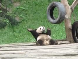 Watch and share Panda Panda Panda. GIFs on Gfycat