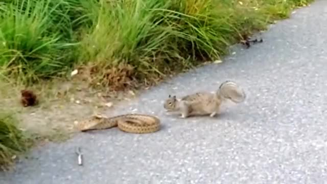 Watch Snake against squirrel GIF by Ievgen Marchuk (@ievgenmarchuk) on Gfycat. Discover more Snake, squirrel GIFs on Gfycat