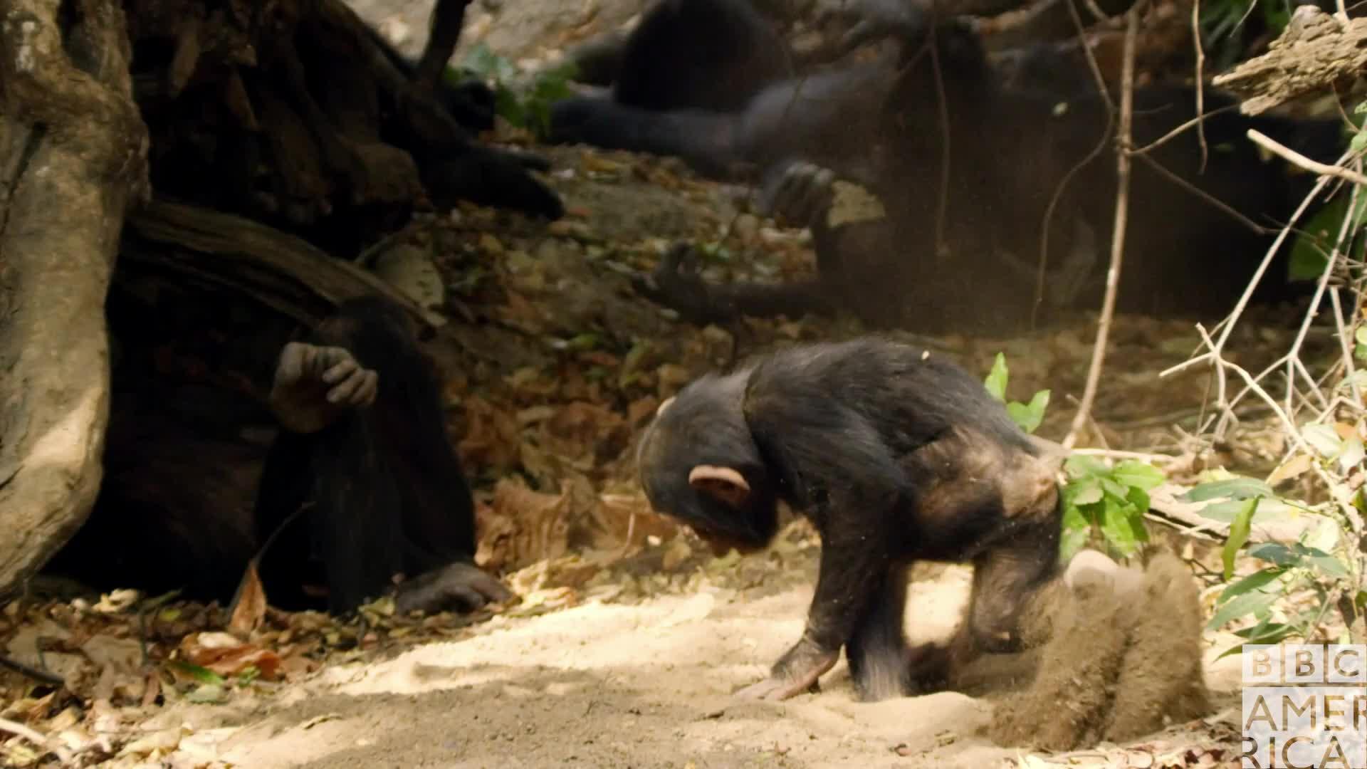 animal, animals, bbc america, bbc america dynasties, bbc america: dynasties, chimp, chimpanzee, chimpanzees, chimps, dynasties, Dynasties Chimp Hot and Exhausted GIFs