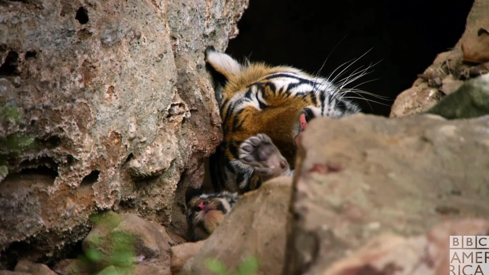 animal, animals, bbc america, bbc america dynasties, bbc america: dynasties, dynasties, sleep, sleepy, tiger, tigers, tired, zzz, Dynasties Tiger Cub Wake Up GIFs