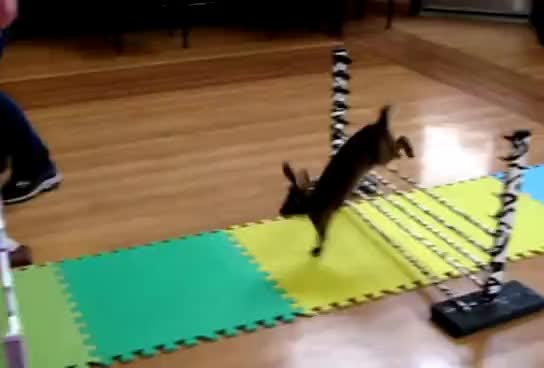 cute, jumping, rabbits, Rabbits showjumping GIFs