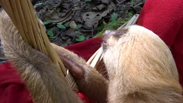 Watch and share Curious Sloth Cautiously Investigates Camera GIFs by Beef on Gfycat