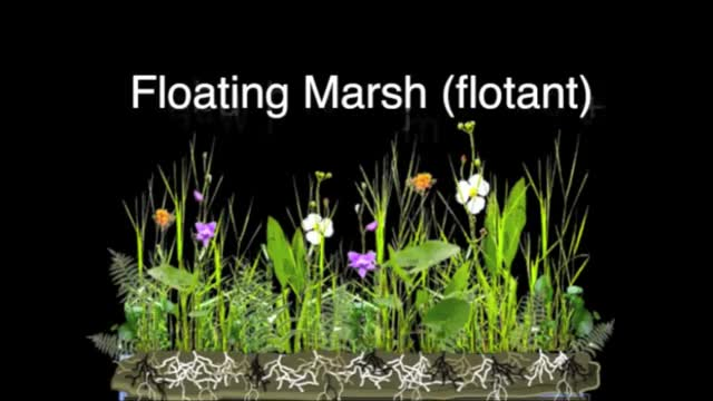 Watch Floating Marsh Structure GIF by @mohican_sioux on Gfycat. Discover more Mississippi River Delta, New Orleans, USGS, Wax Myrtle, bulltongue, fire, flotant, maidencane, orchid, wetland GIFs on Gfycat