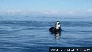 Watch and share Killer Whale 3 GIFs on Gfycat