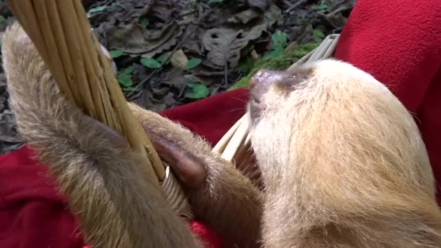Watch Curious Sloth Cautiously Investigates Camera GIF by Beef (@is_it_beef) on Gfycat. Discover more related GIFs on Gfycat